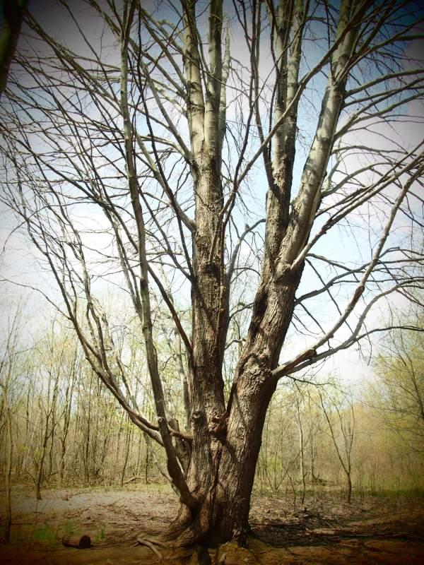 Tree taken in Pinhole